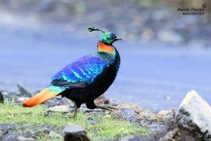national bird of nepal daphe
