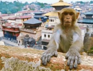 monkey temple pashupatinath